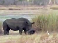 В Зимбабве освободили застрявшего в шине носорога (ВИДЕО)