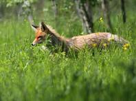 В Финляндии лиса ранним утром совершила визит во двор к местным жителям для игры в  Angry Birds (ВИДЕО)