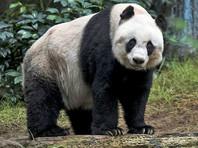 В Гонконге старейшую из живших в неволе больших панд подвергли эвтаназии