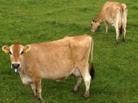 В Дании придумали траву для спасения от создающей парниковый эффект отрыжки коров