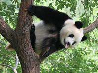 В Китае посетитель зоопарка хотел подраться с пандой, чтобы впечатлить дам, но был жестоко затискан (ВИДЕО)