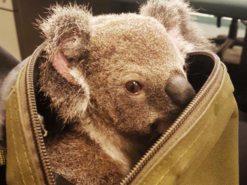 В пригороде австралийского города Брисбен, штат Квинсленд, полицейские столкнулись с необычной находкой, умилившей стражей порядка. В ходе задержания подозреваемой полиция изъяла рюкзак, в котором находился детеныш коалы