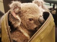 В Австралии полиция нашла рюкзак с детенышем коалы (ФОТО)