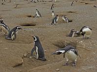 """400 мертвых магеллановых пингвинов """"со следами зубов"""" найдены  на Южных Шетландских островах к северу от Антарктики"""