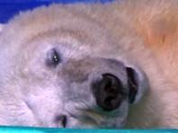 Самого грустного медведя в мире поселили в китайский океанариум
