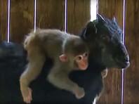 Китайские власти угрожают разлучить маленькую обезьянку и ее приемную маму-козу (ВИДЕО)