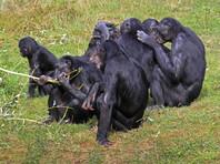 Обезьяны бонобо доказали, что гаджеты и чтение не влияют на развитие дальнозоркости у людей