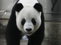 Большая панда напала на китайца, сломав ему обе руки