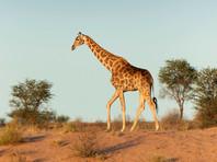 """Жирафы  получили в Красной книге статус вида, находящегося """"в уязвимом положении"""""""