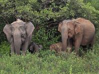 В Непале пришлось вызвать спецназ в деревню, на которую напало стадо слонов