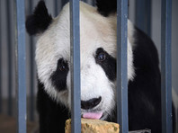Умер самый старый самец панды на планете
