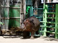 В результате молодой носорог столкнул пожилого соперника в озеро к бегемотам