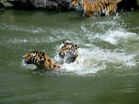 Семья китайца-безбилетника, растерзанного тигром, обвинила зоопарк в недостаточно высоком ограждении
