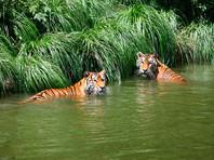 В Китае тигр убил посетителя-безбилетника, влезшего в зоопарк через забор