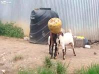 В Сети набирает популярность ВИДЕО спасения двух козлов, застрявших головами в бидоне