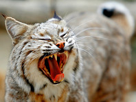 В Вашингтоне не могут найти 11-килограммовую рысь, сбежавшую из зоопарка