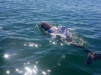 В Австралии ищут дельфина в футболке, которому грозит гибель