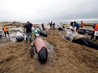 Высокий ночной прилив погрузил в воду более 200 из 240 дельфинов-гринд, выбросившихся 11 февраля на берег мыса Фаруэлл в Новой Зеландии