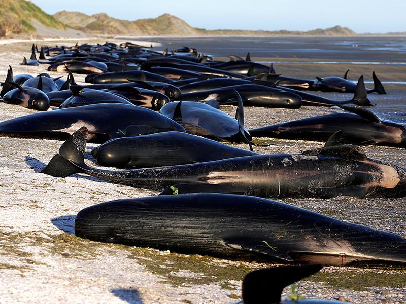 На побережье Новой Зеландии выбросились сотни дельфинов