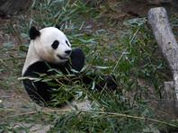 """Национальный зоопарк Вашингтона отправил на родину, в Китай, трехлетнюю самку панды по имени Бао Бао (в переводе с китайского означает """"драгоценное сокровище"""")"""