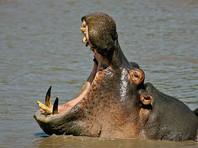 Единственный в Сальвадоре бегемот четыре дня умирал после нападения на зоопарк неизвестных с ножами