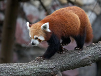 Красные панды имеют красновато-коричневый, густой мех и длинный хвост. По размеру они схожи с енотами. Их можно увидеть ходящими по земле, но чаще они предпочитают лазить по деревьям