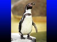 Правоохранительные органы Германии расследует необычное преступление, жертвой которого стал пингвин. Животное по кличке Гумбольдт содержалось в Луизенпарке, расположенном в немецком городе Мангейм