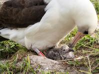У старейшей в мире морской птицы вылупился птенец - примерно 31-й по счету