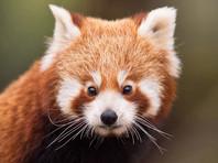 Пропавшую более двух недель назад из зоопарка США красную панду не могут найти даже с помощью беспилотников