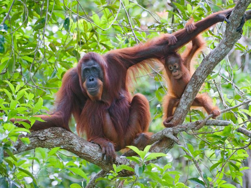 В Индонезии рабочие съели приблудного орангутана