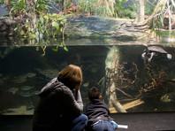 Тем не менее он вызывал большой интерес у посетителей. Несколько раз за час они могли наблюдать, как рогозуб поднимается на поверхность и высовывается из воды, чтобы глотнуть воздуха