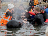 Прибывшие утром на мыс Фаруэлл добровольцы-спасатели надеются помочь остающимся на берегу 17 живым гриндам уйти в океан