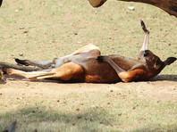 Китаец в зоопарке забросал кенгуру камнями, чтобы заставить их прыгать (ФОТО)