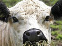 В Великобритании на спасение упавшей с утеса беременной коровы потребовалось девять часов