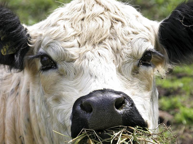 Британские спасатели провели двухдневную операцию по спасению беременной коровы, которая упала с утеса высотой 18 метров