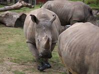 Браконьеры убили во французском зоопарке носорога и спилили у него два рога