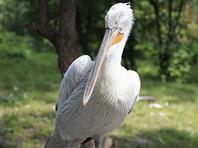 """В зоопарке """"Шенбрунн"""" в Вене усыпили 20 кудрявых пеликанов, заболевших птичьим гриппом"""