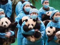 В Китае переходят к новому этапу спасения панд - контролю близкородственного скрещивания