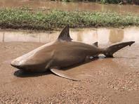 В Австралии циклон Дебби разбросал акул по лужам (ВИДЕО)
