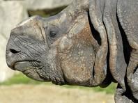 Носорогам в чешских зоопарках спиливают рога, чтобы защитить их от браконьеров