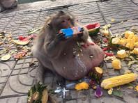 В Бангкоке толстопузой обезьяне, ставшей похожей на Ждуна, решили помочь сбросить вес (ФОТО)