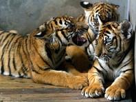 Зоозащитники спасли трех тигрят, перевозившихся с Украины в Сирию: их неделю держали в деревянном ящике