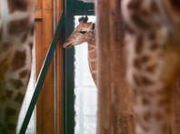 За родами жирафихи Эйприл наблюдали онлайн 1,2 млн человек