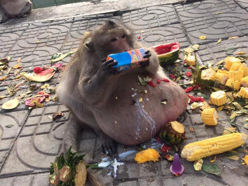 В Бангкоке непомерно растолстевшей обезьяне решили помочь сбросить вес