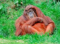 Зоопарк Швейцарии заказал тест на отцовство для детеныша орангутана