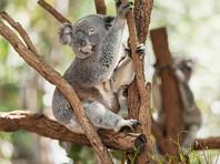 Вырубка лесов в Австралии могла привести к гибели десятков коал за два года, подсчитали экологи