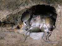 Полицейские в Индии обвинили крыс в уничтожении 900 тысяч литров конфискованного алкоголя