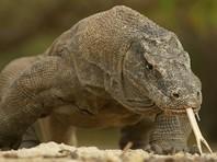 В Индонезии на туриста напал комодский дракон
