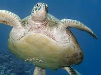 В США волонтеры помогли заплутавшей морской черепахе вернуться в океан