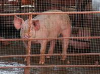 В Мексике фермер погиб после драки со свиньей, откусившей ему пальцы и пенис